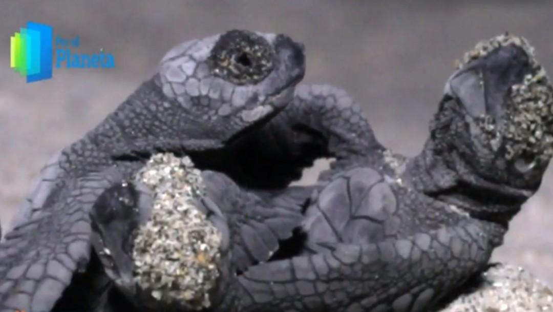Foto: Por el planeta: Crías de tortuga golfina luchan por sobrevivir