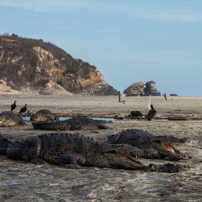 Avistan cocodrilos en playas de Oaxaca durante cuarentena