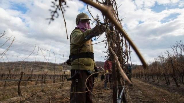 Foto: Un trabajador mexicano en un campo de Canadá. Twitter/