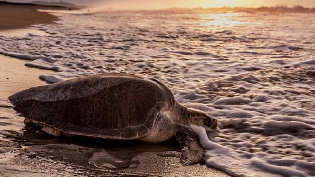Intensifican protección a tortugas en playas de Oaxaca, 24 de abril de 2020, (Getty Images, archivo)