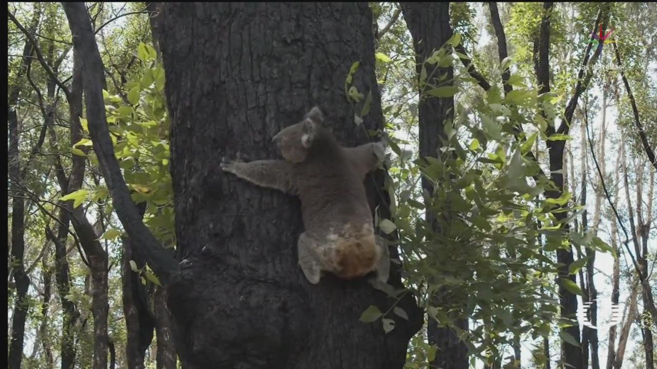 Foto: koalas heridos en los incendios forestales de australia regresan a su habitat 23 Abril 2020