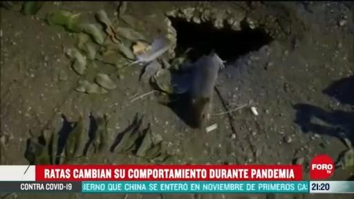 Foto: ratas cambian su comportamiento por la pandemia alertan peligrosassigned 23 Abril 2020