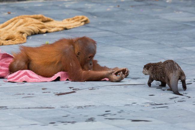 En el Zoológico de Pairi Diaza, en Bélgica una familia de orangutanes inició una entrañable amistad con un grupo de nutrias del río.