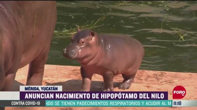 anuncian nacimiento de hipopotamo del nilo