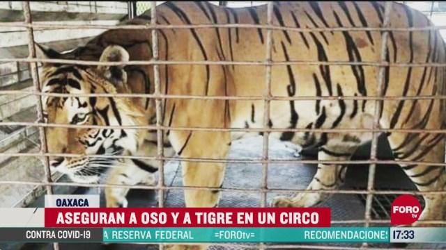 FOTO: aseguran tigre y oso negro en circo de oaxaca