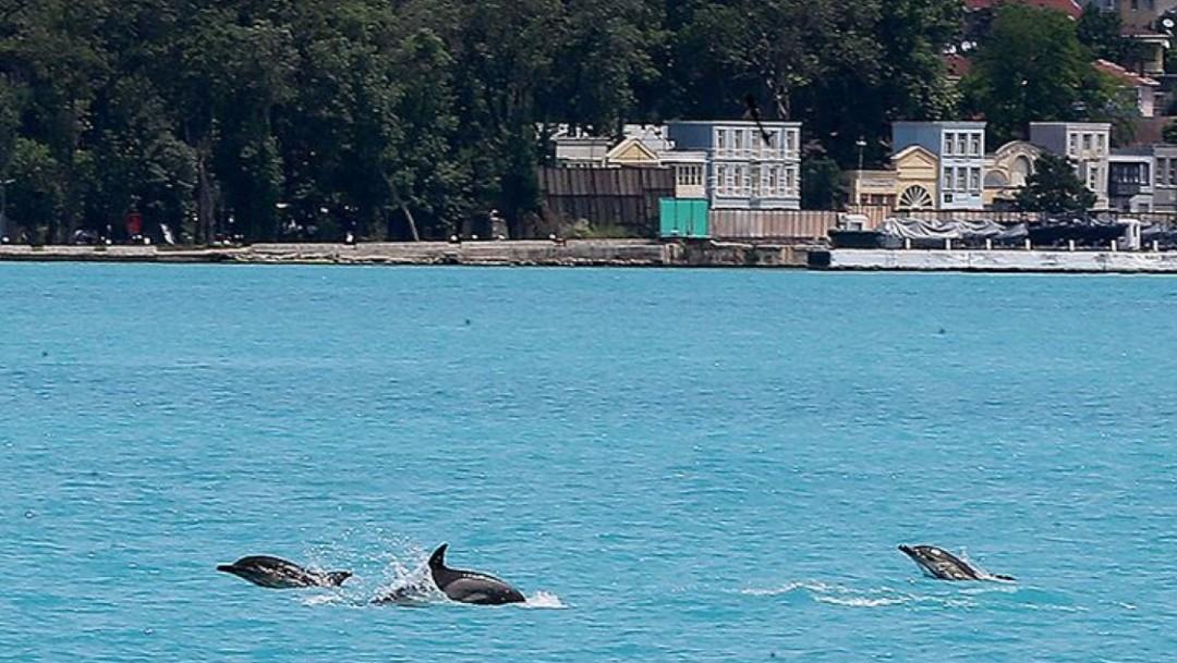 Delfines se adueñan de las aguas del Bósforo en Turquía tras el confinamiento