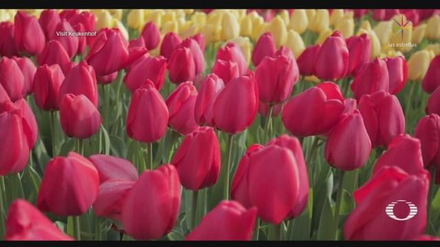 Foto: florecen tulipanes en los paises bajos sin visitas de turistas 6 Mayo 2020