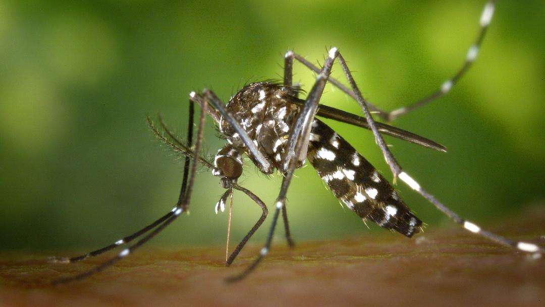 Estos insectos serían más peligrosos que avispón asesino