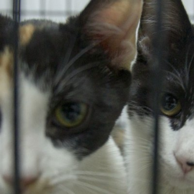 Gatos, especie más susceptible al coronavirus, afirma la OMS