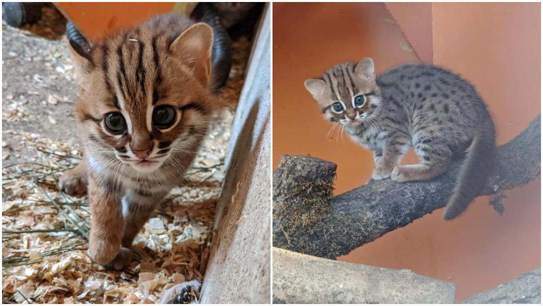Gato-salvaje-especie-felina-gatitos-santuario-animal