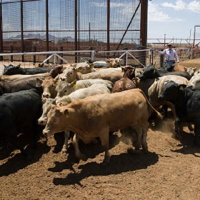 Ganaderos mexicanos sacrifican animales por falta de recursos