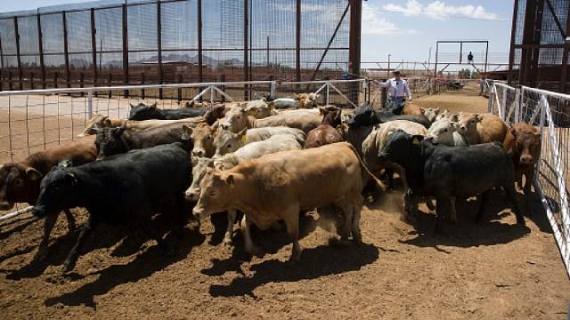 Foto: Ganaderos mexicanos sacrifican animales por falta de recursos, 1 de mayo de 2020, (Getty Images, archivo)