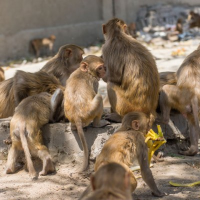 Monos atacan a trabajador y roban muestras de sangre de COVID-19
