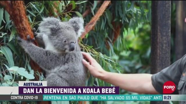 nace koala en el australian reptile park
