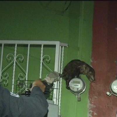 rescatan a tlacuache en centro de coyoacan en la cdmx