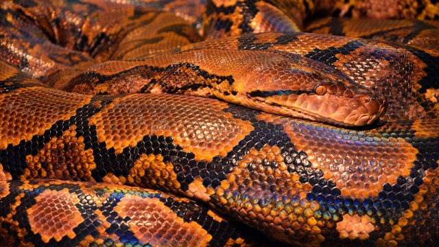 FOTO: Aseguran serpiente pitón en el aeropuerto de San Luis Potosí, el 23 de mayo de 2020
