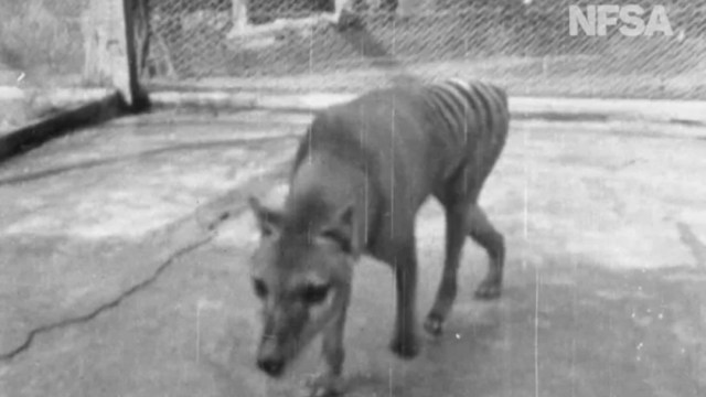 Foto: Video: Difunden imágenes del último tigre de Tasmania