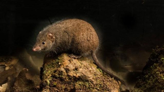 raton-antequino-sobre-monticulo-tierra-cafe-fondo-negro
