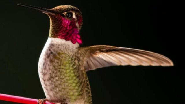FOTO: Los colibríes detectan más colores que los humanos. (Getty Images)
