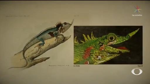 confirman hallazgo de lagarto con nariz de cuerno en indonesia