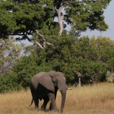Botsuana investiga la muerte de 154 elefantes; descarta cazadores furtivos