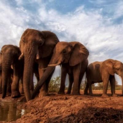 Al menos seis elefantes fueron masacrados por cazadores furtivos en un solo día en Etiopía