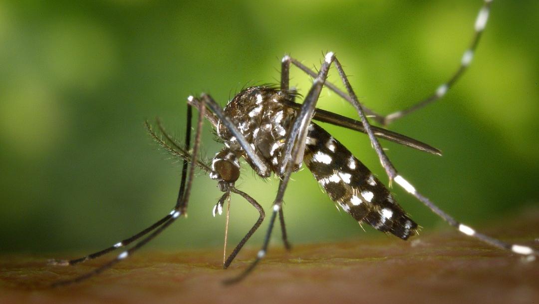 mosquito-tigre-picando-superficie