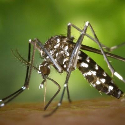 Reaparición de mosquito tigre alerta a las autoridades, ¿México está en riesgo?