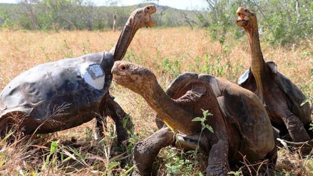 La tortuga Diego vivió su regreso a la Isla Española Foto