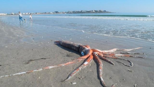 El calamar gigante fue encontrado por bañistas en playa de Sudáfrica