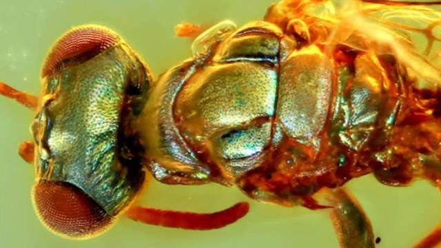 Fósiles conservados en ámbar revelan los verdaderos colores de insectos milenarios