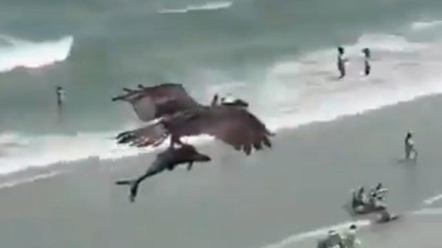 águila caza a un tiburón en playa de Estados Unidos, captura