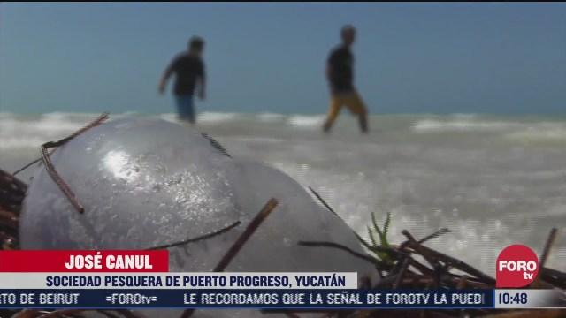 arriban medusas a la costa de yucatan