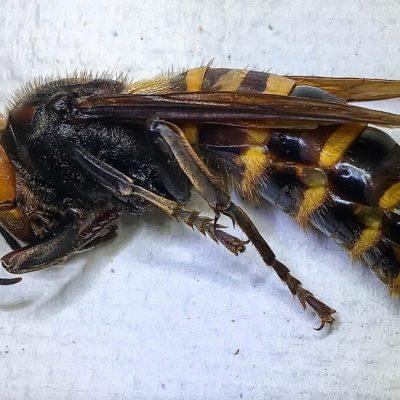 Capturan un avispón gigante asiático por primera vez en Washington