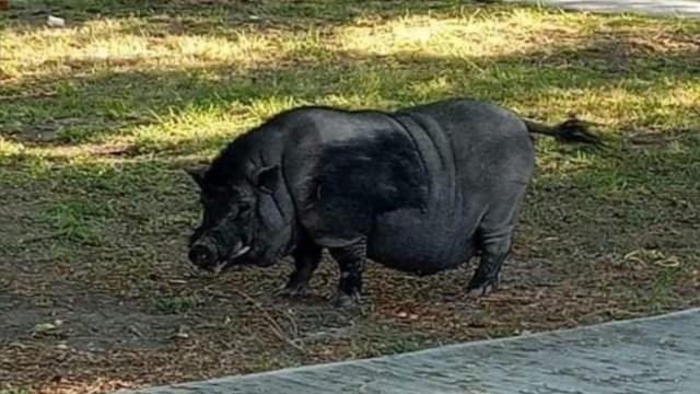 Captan a cerdo vietnamita con perritos en un parque de Apodaca, NL