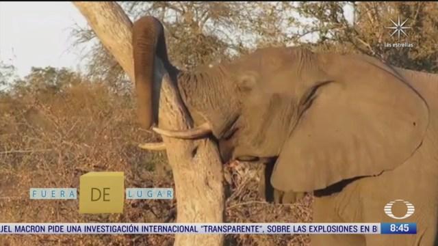 fuera de lugar elefante se queda dormido recargado en un arbol