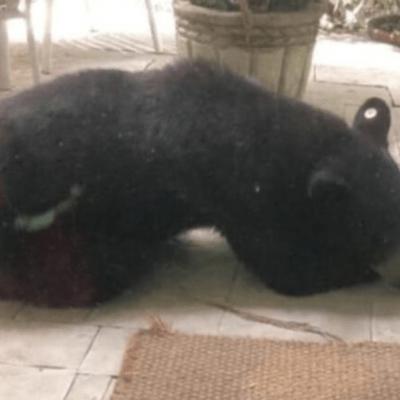 Oso negro dormido en casa de Monterrey