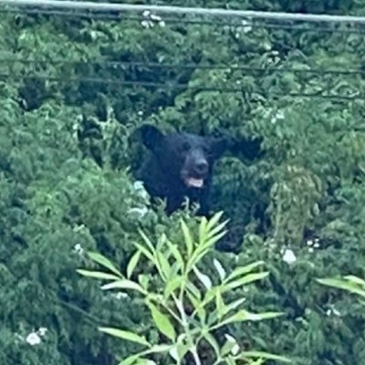 Captan a otro oso negro en calles de San Pedro, Nuevo León