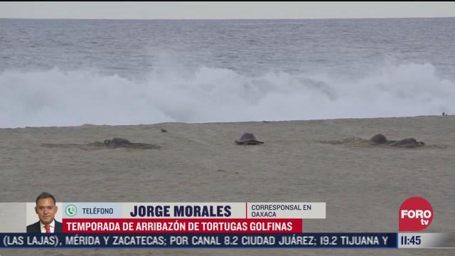 temporada de arribazon de tortugas golfinas en oaxaca
