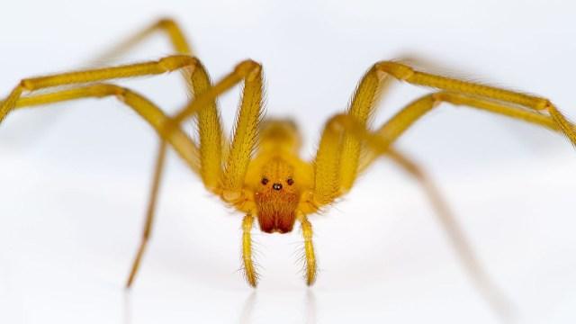 Se han registrado cuatro casos de picadura de arañas violinistas en la alcaldía Miguel Hidalgo de la CDMX