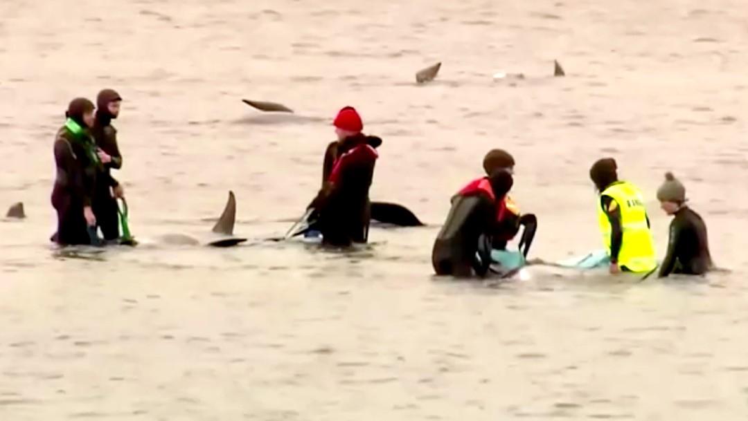 Aumentan a más de 470 las ballenas piloto varadas en Tasmania, Australia