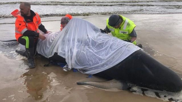 Australia lleva mar adentro 380 cadáveres de ballenas varadas en isla de Tasmania