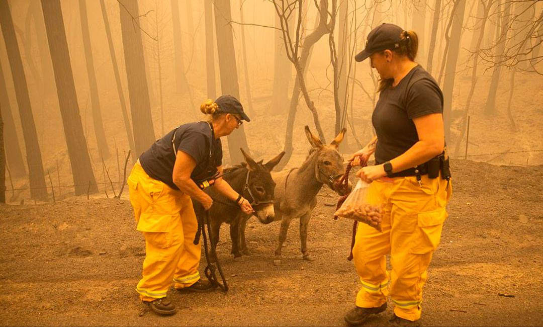 Rescate de burros en incendio forestal en Estados Unidos