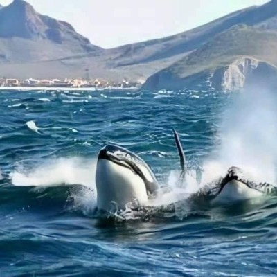 Captan a familia de orcas en el Mar de Cortés, Sonora