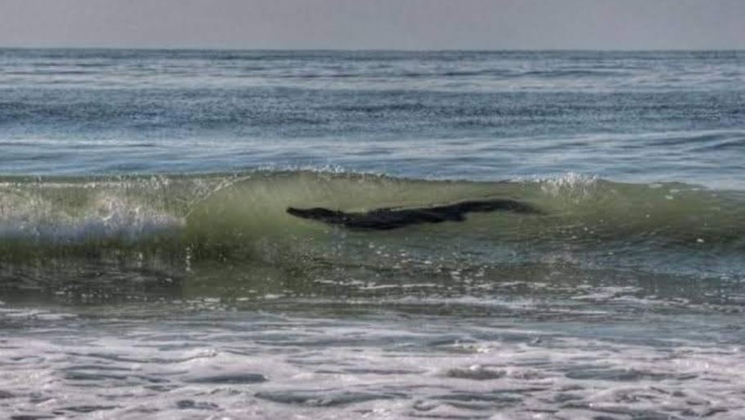 El cocodrilo fue visto merodeando una playa de Pie de la Cuesta. (Foto: @allexsoto)