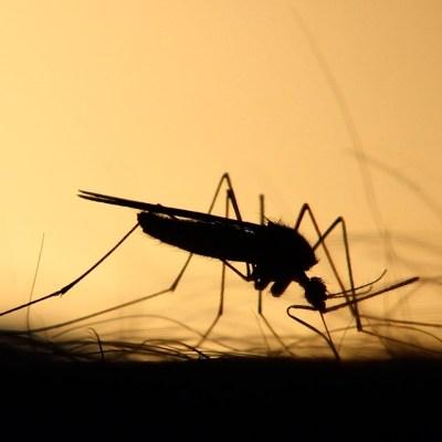 ¿Cómo hacer repelentes naturales para alejar a los mosquitos?
