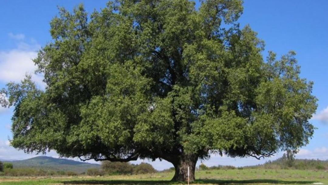 l quillay, un árbol endémico de Chile