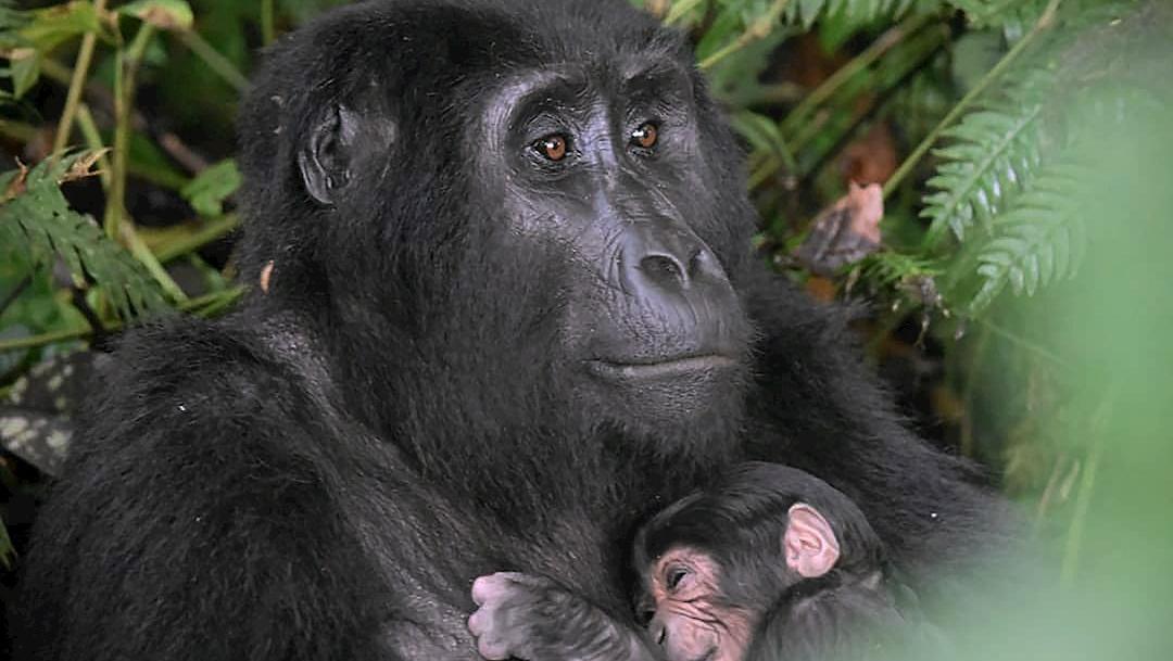 La madre gorila abraza a su bebé recién nacido en el Parque Nacional del Bosque Impenetrable de Bwindi, en Uganda
