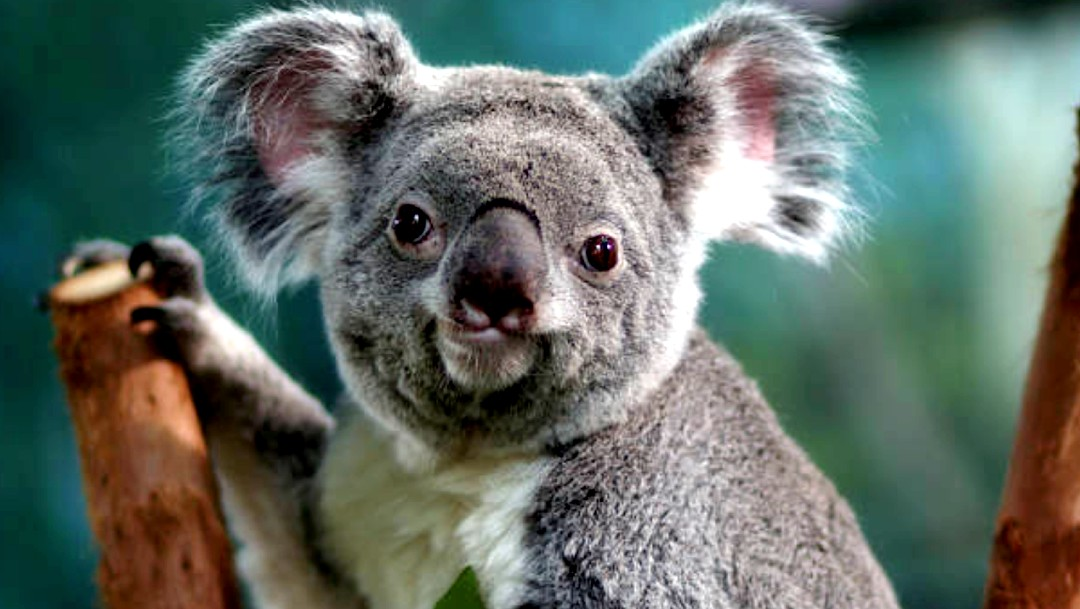 Koalas hacen tambalear al gobierno del estado más poblado de Australia