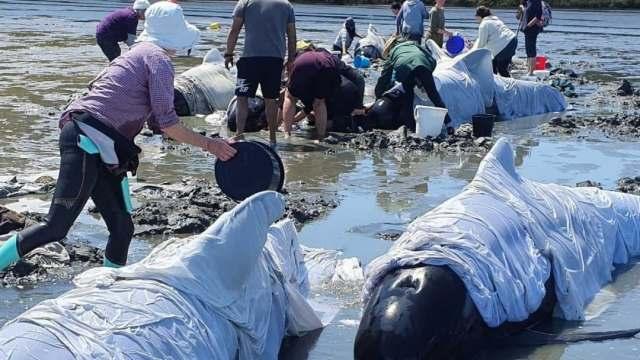 Mueren 19 de las 25 ballenas piloto varadas en Nueva Zelanda